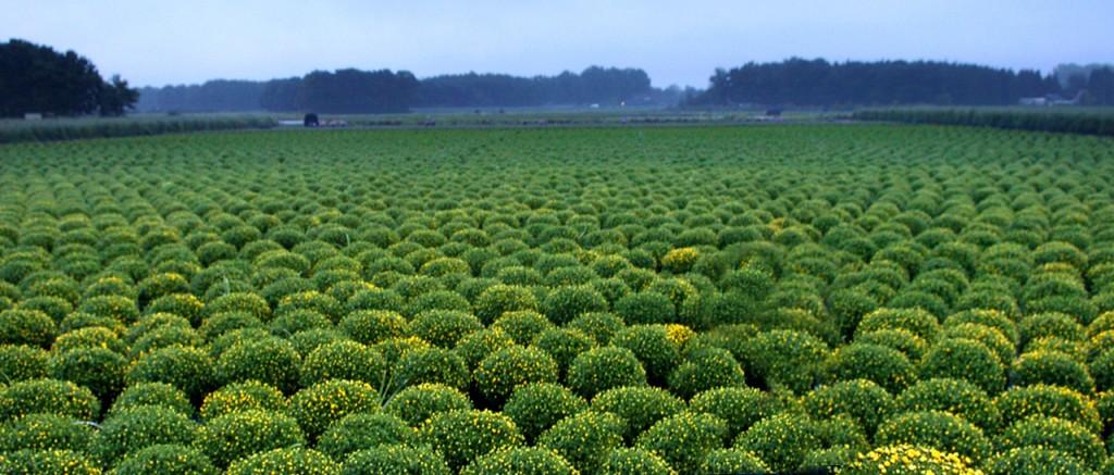 Bolchrysanten op het veld